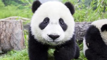 panda-wallpaper-1366x768